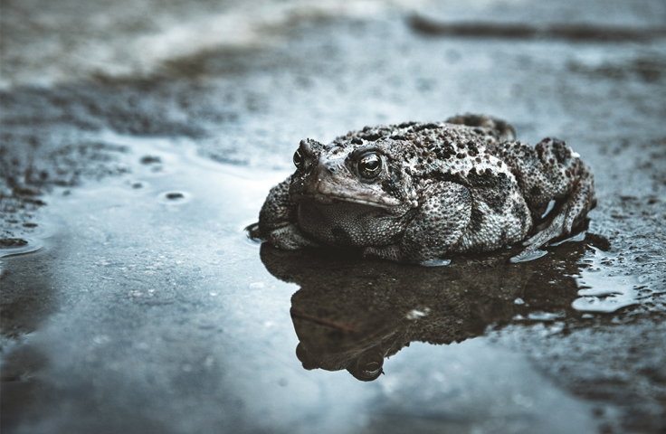 Cane toad sitting in a puddle