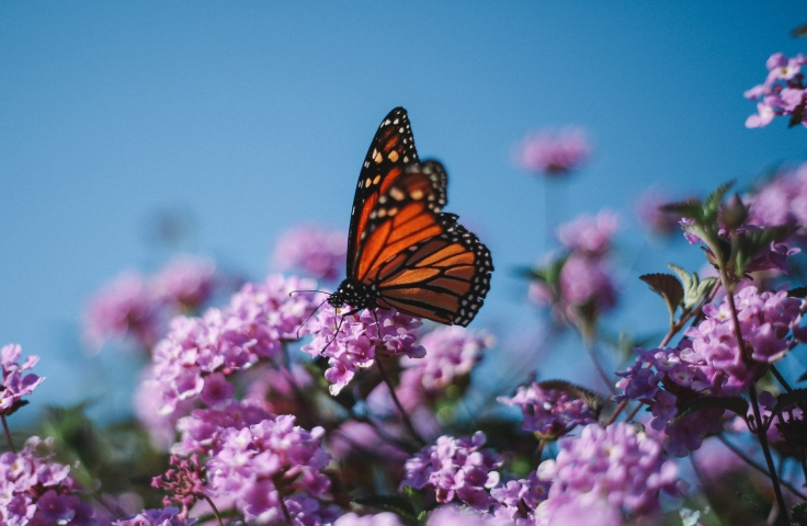 Monarch butterfly sitting on a flower
