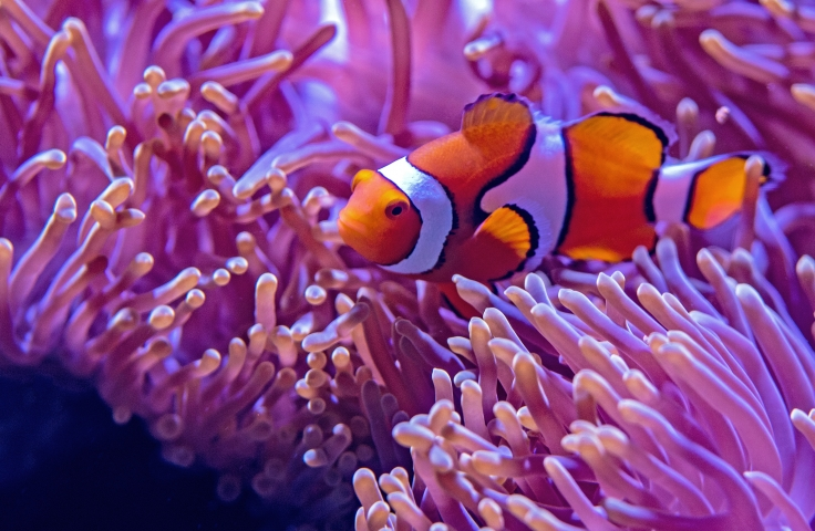 Clownfish in the water with coral