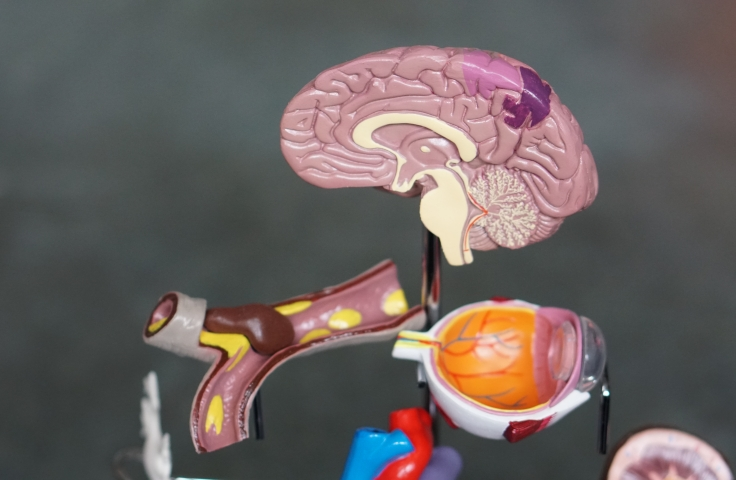 Model of the human brain
