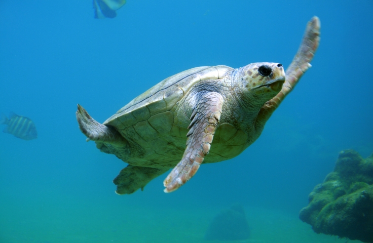 A tortoise swimming under the sea