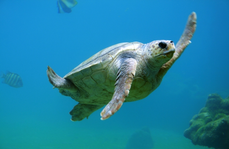 A tortoise swimming underwater